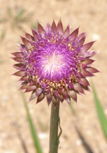 BPS-B1-FLECJ-Thistle_Blossom